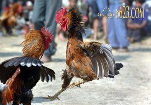 Đá gà tại Galaxy 6623 – Trực tiếp đá gà | Cá cược thả ga