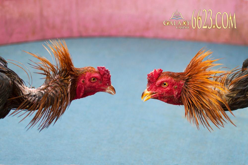 Đá gà tại Galaxy 6623